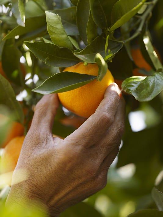 Senior man picking orange, close-up