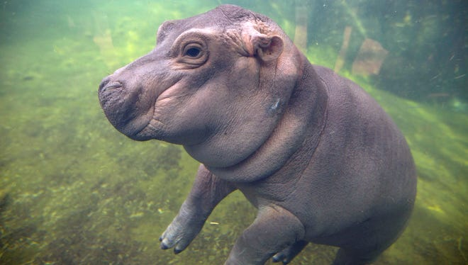 Fiona was born Jan. 24, 2017 to parents, Bibi and Henry. The premature little hippo who would capture the world's hearts weighed only 29 pounds. On May 31, 2017, when she made her media debut she weighed 270 pounds and was slowly being introduced to her parents.