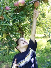 A boy reaches to grab an apple at U-Pick Mesilla Valley