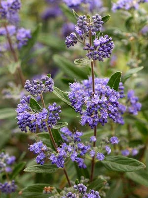 Blue Beard (Caryopteris 'Longwood Blue') is a herbaceous perennial is loaded with blue flowers and maintains a tidy four to six foot mound without much effort.