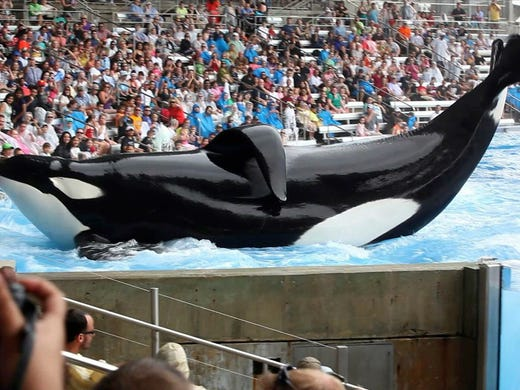 Incidents At Seaworld Parks: Tilikum, SeaWorld Orca Who Killed Trainer, Inspired