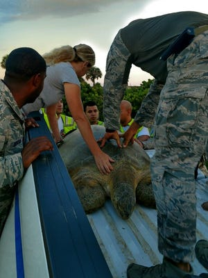 A 300-pound turtle was relocated after it had wondered to State Road A1A.