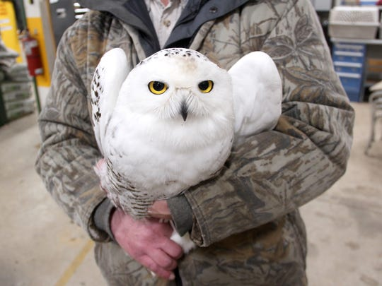A male snowy owl is prepared for release after banding at Barkhausen Nature Preserve in Suamico, Wis.