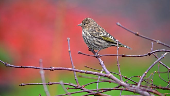 Pine Siskin on a branch Surrounded by Fall Colors