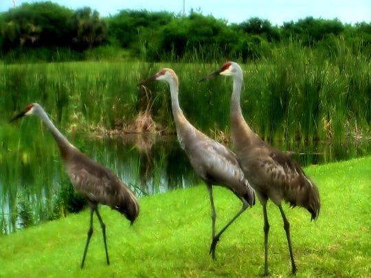 "Debra Kewley of Marco Island shot this ""Crane family."""