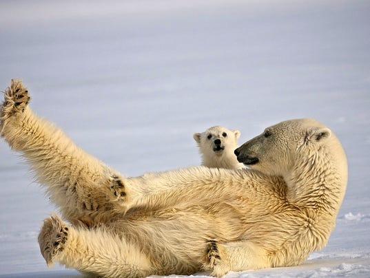 Dominic-Barrington_Polar_Bear_HRT_080.jpg