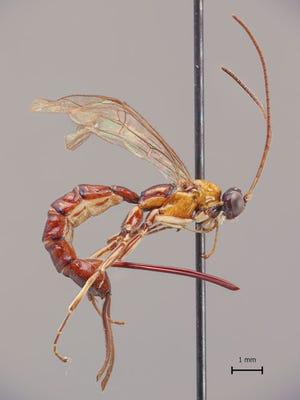 A view of the wasp species Clistopyga crassicaudata.