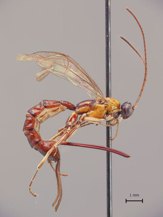 new wasp species with giant stinger found in amazon scientists say
