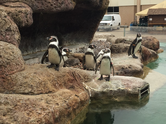 The penguins live outside year around and are therefore