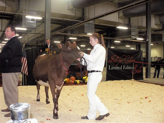 A milking Shorthorn is paraded around the ring.