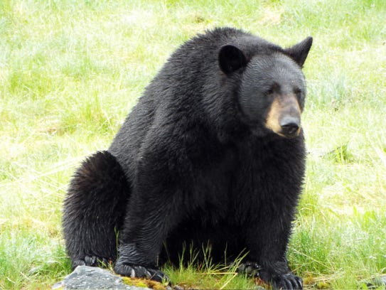 A black bear with serious weight problem at the Alaska