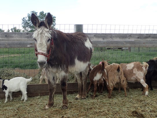 Donkeys are a key alert system for goats.
