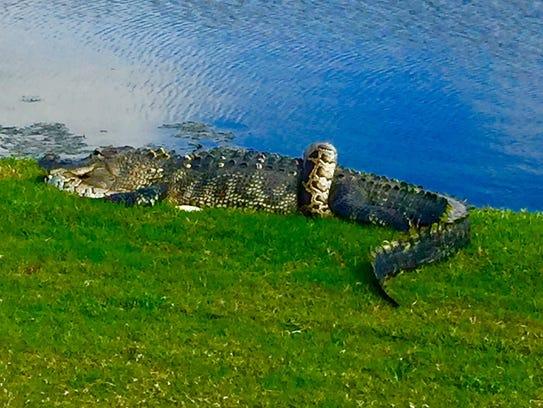 A Burmese python and a Florida alligator were seen