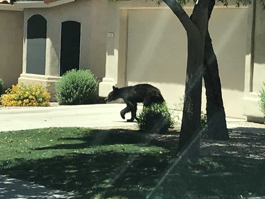 A black bear was seen in the Red Mountain Ranch area