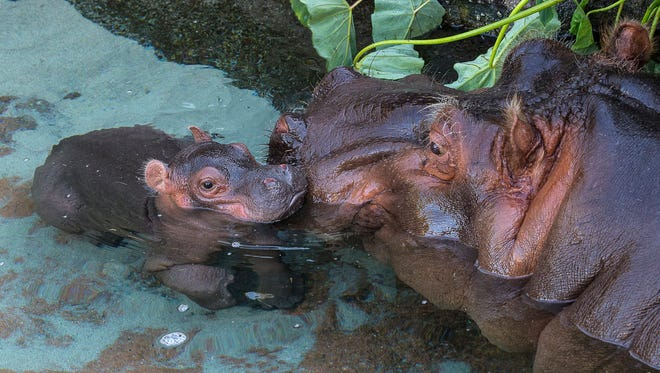 A three-day-old river hippopotamus pokes its head out of the water under the watchful eye of its mother at the San Diego Zoo. The calf was born on Monday, March 23 to mother, Funani, and father, Otis, in the Zoo's 150,000-gallon hippo pool. Animal care staff report the adorable newborn is nursing from its mother several times a day, a good sign that both mother and baby are doing well. Funani is very protective of her baby and has kept her calf so close that animal keepers have not been able to determine yet if the calf is male or female. Hippo calves are estimated to weigh about 50 pounds at birth and they typically nurse for about eight months. The baby is likely to stay very close to Funani during the first several weeks.   Visitors to the San Diego Zoo can see Funani and her baby in the habitat on Hippo Trail.