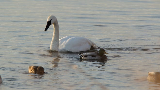 Group of Trumpeter Swans take a refuge at Riverland Birds Sanctuary in West Alton, MO during a winter migration.