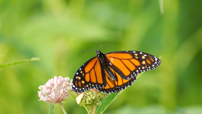 A Monarch butterfly perches on a milkweed at Clarence Cannon National Wildlife Refuge in Annada, MO.