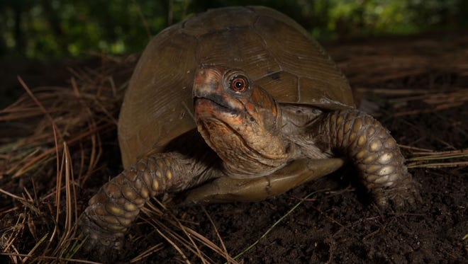 A Three-Toed Box Turtle searches for food in a forest in Brazito, MO.