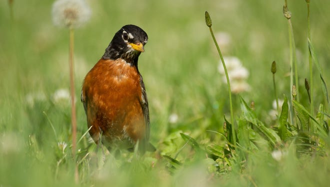 A male American Robin searches for a meal early in the morning during summer month at Forest Park