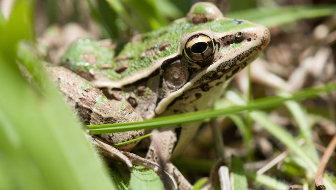 A Southern Leopard Frog sits under grass at Valley View Glade Natural Area near Hillsboro, MO.