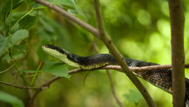 A black snake eats a baby rabbit and climbs a tree.