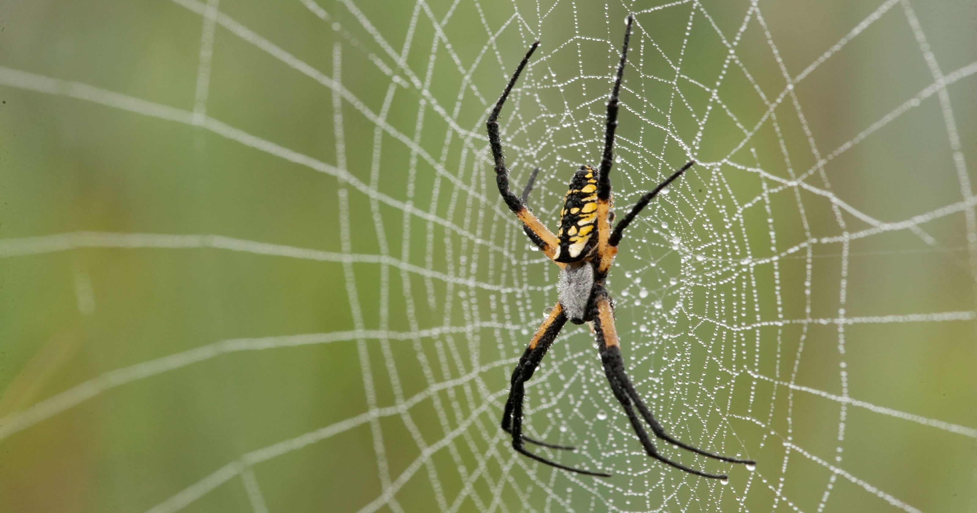 critter of the week yellow garden spider - Garden Spider