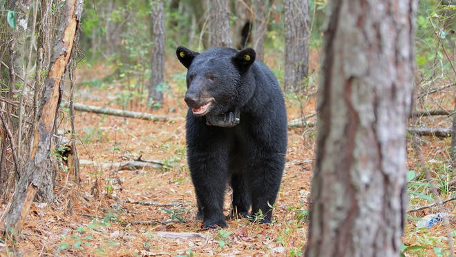 This bear was one of 20 bears with a satellite radio collar that sent location information to Auburn University researchers every hour for a year.