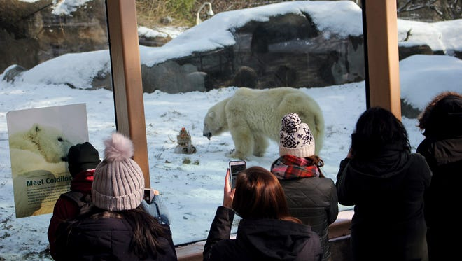 """This photo provided by the Philadelphia Zoo shows patrons taking photos of Coldilocks, the oldest polar bear in the U.S., at 37. The zoo says they celebrated her birthday Thursday, Dec. 14, 2017, with a cake made of peanut butter, honey, raisins and fish. Guests at the party braved a cold, icy day to sing """"Happy Birthday"""" to the bear. Zoo officials say the average lifespan for polar bears in captivity is 23 years. They credit Coldilocks' long age with the care she receives from her keepers and veterinary staff. Coldilocks lived with her partner Klondike for more than three decades before the bear died in 2015 at age 34. (Philadelphia Zoo via AP)"""