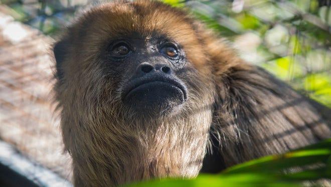 Maddie the black howler monkey.