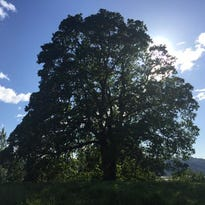 Neighbors trying to save heritage tree