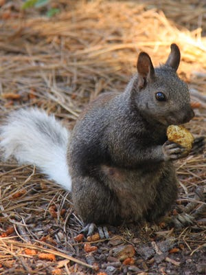 A tassel-eared Kaibab squirrel snacks at the Grand Canyon's North Rim. The squirrel's habitat is confined entirely to the ponderosa pine forests of the North Rim and the northern section of Kaibab National Forest around the town of Jacob Lake.