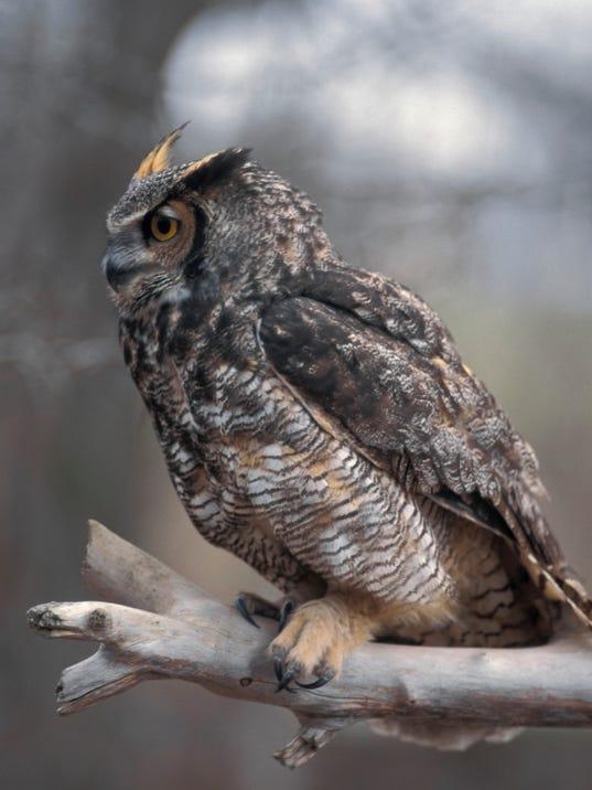636455707427476428-Great-horned-owl-14.jpg