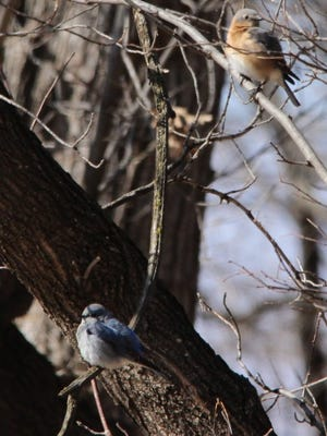 A photo by Dan Orr of Sauk Rapids shows the mountain bluebird, lower left, in relation to a female eastern bluebird, a species normally seen in Minnesota. The photo was taken Saturday at Island View Regional Park south of St. Cloud.