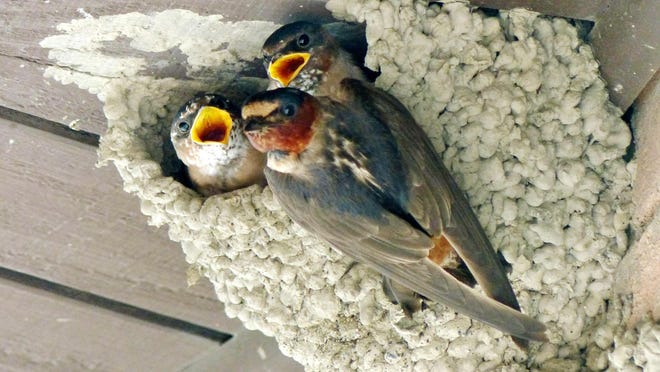 Cliff swallows, recognized by their orange rumps, build their mud nests on houses and bridges.