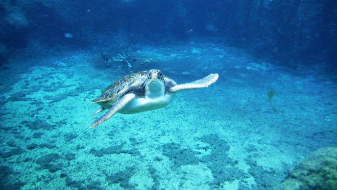 This photo was taken while snorkeling with green sea turtles at the Cayman Island Turtle Farm which is a breeding and research center for five species of green sea turtles.