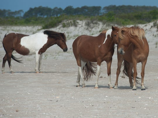 rp Assateague ponies (2 of 11).jpg
