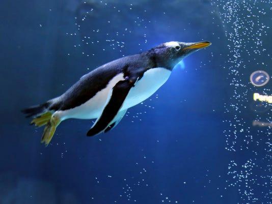 636057675759911298-Detroit-Zoo-Penguin.jpg