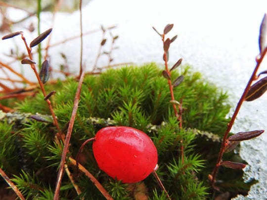A ripe cranberry provided the only splash of color through the fog.