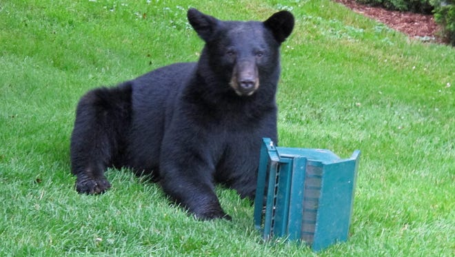 File photo of a black bear in a resident's yard in Tioga County.