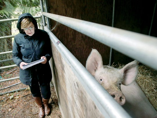 Rhonda Manville of the Kitsap Humane Society stands beside a pen holding two captured female Yorkshire pigs that were running stray in the Woods Road area. If the owner doesn't come forward, they will be up for adoption.
