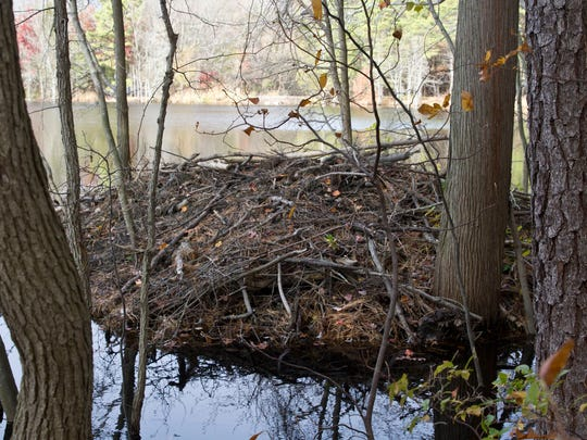 A beaver den found on eastern lake bank. Beavers are wreaking havoc for residents along Lake Placid Drive and Oak Glen Road by clogging the drainage systems along the lake between the two roads.Toms River, NJWednesday, November 18, 2015@dhoodhood