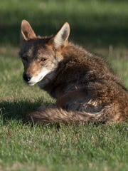 An adult male rests in the sun about 50 yards from