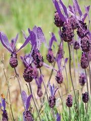 Spanish lavender, Lavandula stoechas