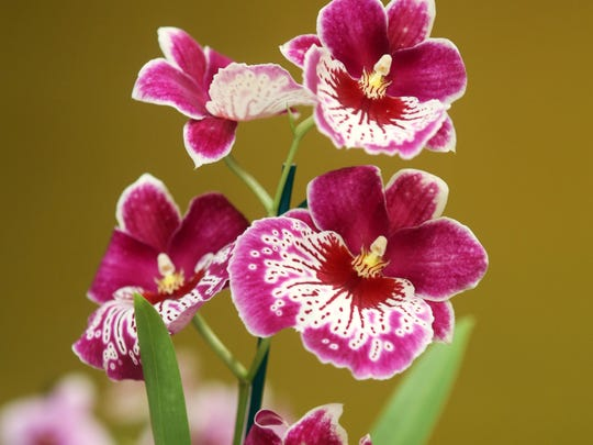 The Cherry City Orchid Show and Sale, March 21 and 22