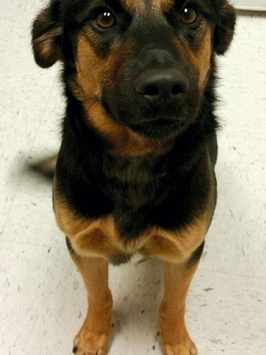 Bear, 2, is a German shepherd mix who is a bit small for his breed, weighing in at only 35 pounds.   Photo courtesy CVAS