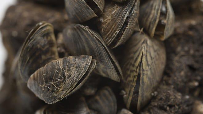 Zebra mussel.