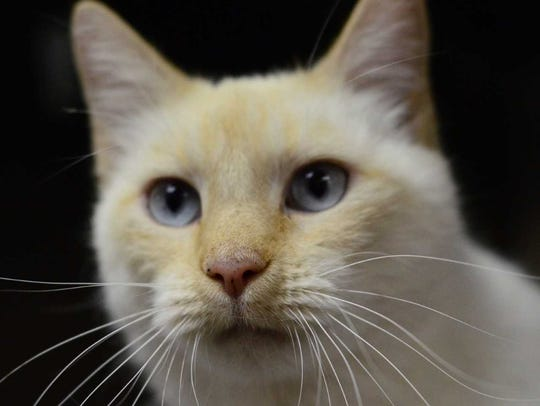 Snowball - Female domestic short hair, adult. Intake