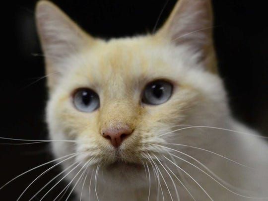 Snowball - Female domestic short hair, adult. Intake date: 10/11/2017