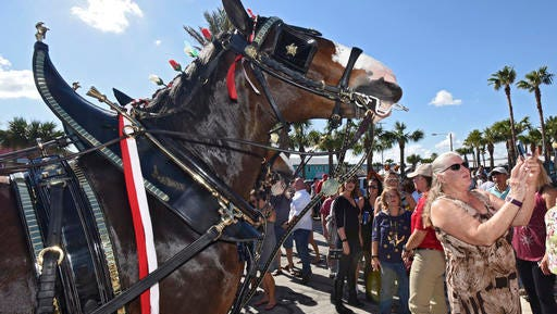 Ivan, one of the lead horses in the Budweiser Clydesdales, smiles for the camera as Lisa Carroll takes a selfie after the team paraded down Atlantic Blvd. to the circle near the beach access, during Pete's Thanksgiving Block Party, Thursday, Nov. 24, 2016, in Neptune Beach, Fla. People jammed First Street in front of Pete's Bar enjoying beverages and some wearing festive hats and outfits.