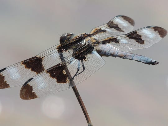The 12-spotted skimmer is named for the distinctive